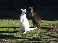 Albino Wallaby in de zon!