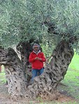 Oude olijfbomen!