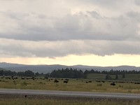Honderden buffels aan Elk Flats Ranch Turnout