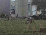 Kangoeroes op ons resort