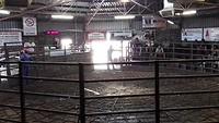 De koeienveiling