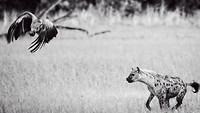 Hyena/gier