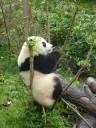 Jonge panda: ze klimmen overal in de takken...en vallen er net zo hard weer uit!!