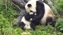Moeder panda met kleintje: zo schattig