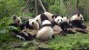 Het enige wat de volwassen pandaberen de hele doen is op hun kont zitten en eten!