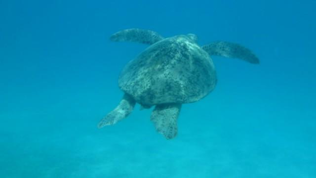 Grote zeeschildpad. Ik denk 1 m.