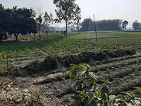 Tomaten plantage