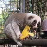 Little Loris is aan het eten