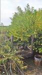De komposthoup tussen de bleuiende Acasias