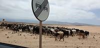 Man met geiten