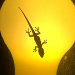 Een kleine gekko