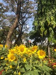 Zonnebloemen op markt