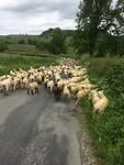 Er zijn echt veel schapen in Engeland