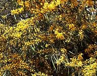 Monte Gordo allemaal mimosa