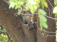 Leopard in the tree. Very eager to run away.