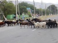 Dorpsbeeld c.q. avondritueel, de geiten en schapen komen terug van de steppe.
