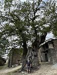 Hoe dik is deze boom van 800 jaar oud wel niet?