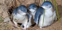 blue penguin2