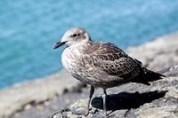 zeevogel op Rangitoto