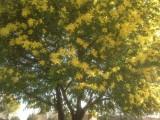 De bloeiene Mimosa boomstruik