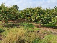 De eerste sinaasappelen
