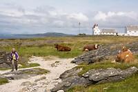 er lopen koeien op het strand