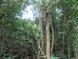in de bush in Kabalebo