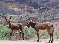 Ezels in Quebrada de las Conchas