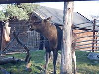 Eland in Skansen