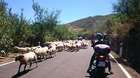 Motorrijden! Wachten voor een kudde schapen