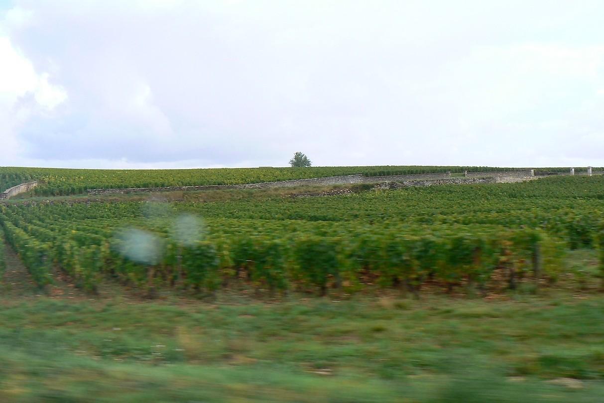 Wijnranken in overvloed