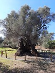 Oude olijfbomen