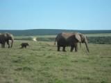 baby olifant in het addo elephant park