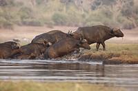 Waterbuffels steken de rivier over
