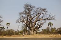 Baobab boom van 1000 jaar oud