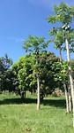 Papaja boom in de tuin