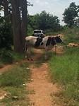 'Don't fear the cow', zei de eigenaar toen de koe op ons af kwam rennen