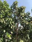 Heel veel mango's in de tuin. Mango jam, mango smooties. Nomnomom.