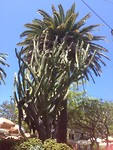 Cactusboom