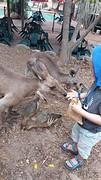 Billabong Sanctuary, kangoeroe voeren