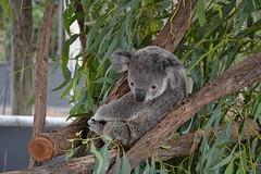 Billabong Sanctuary, koala's