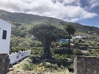 Dragon Tree in Icod de los Vinos