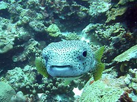 Tolo een mooie porcupine fish, hij wilde wel op de foto.