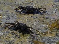 Snorkelen bij Karpata, krabjes op het blok wat in zee ligt.