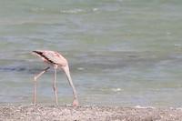 Een jonge flamingo op zoek naar eten.