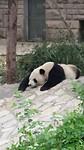 De Reuzen Panda