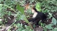 Kapucijnapen in Cahuita NP