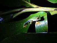 De roodoog-boomkikker