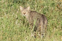 Afrikaanse wilde kat