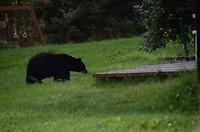Zwarte beer op weg naar de appelboom😉